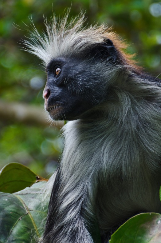 red-colobus-monkey-1373883_1920